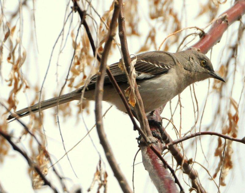 Mockingbird Northern D-007.jpg