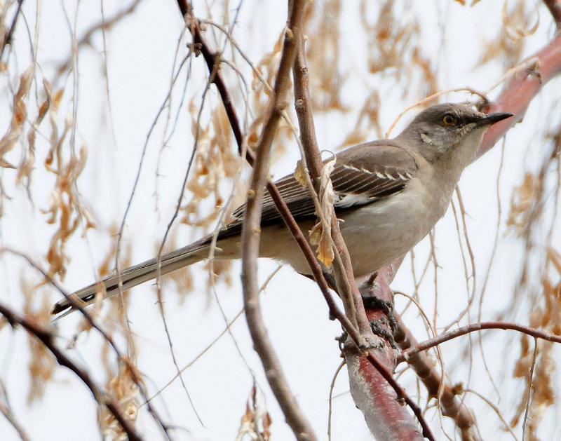 Mockingbird Northern D-009.jpg