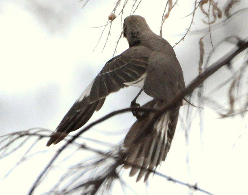 Mockingbird Northern D-001.jpg