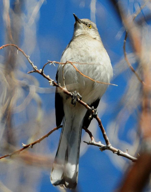 Mockingbird Northern D-015.jpg