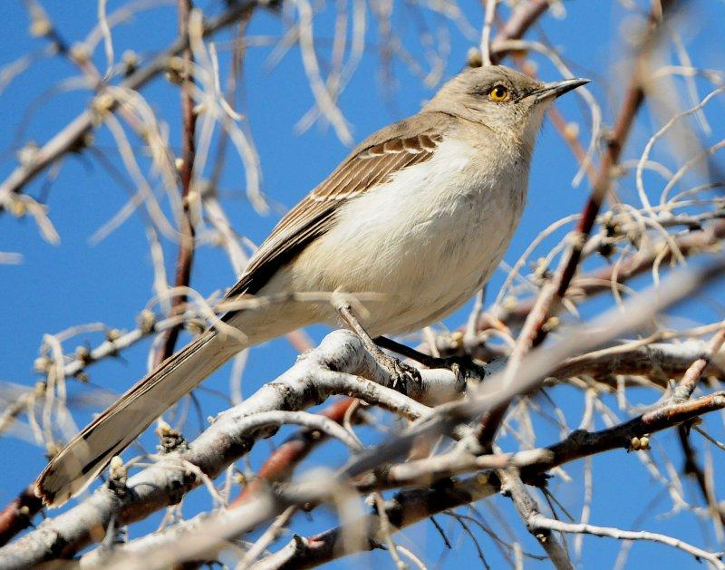 Mockingbird Northern D-020.jpg