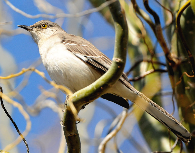 Mockingbird Northern D-021.jpg