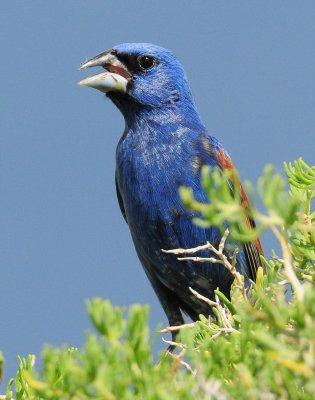Grosbeak, Blue