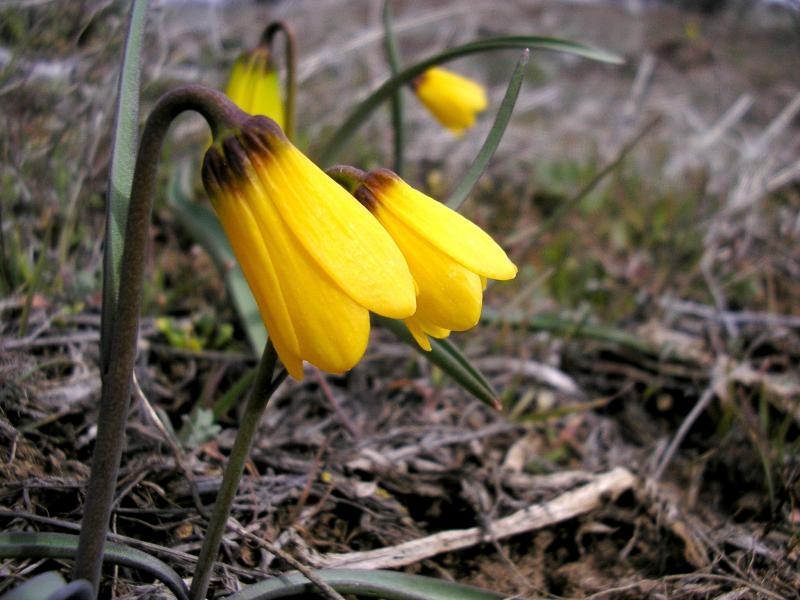 Yellow bell, Fritillaria pudica