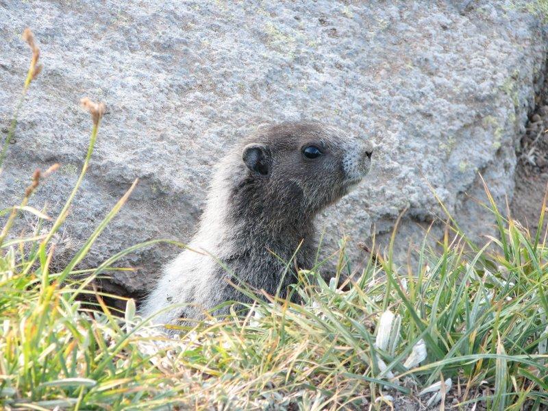 IMG_0506Young hoary Marmot.JPG