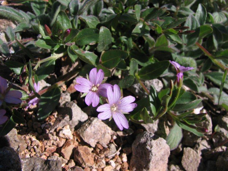 IMG_5726  Alpine willow-herb, Epilobium alpinum