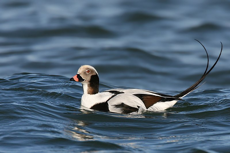 Long-Tailed Duck <i>Clangula Hyemalis</i>