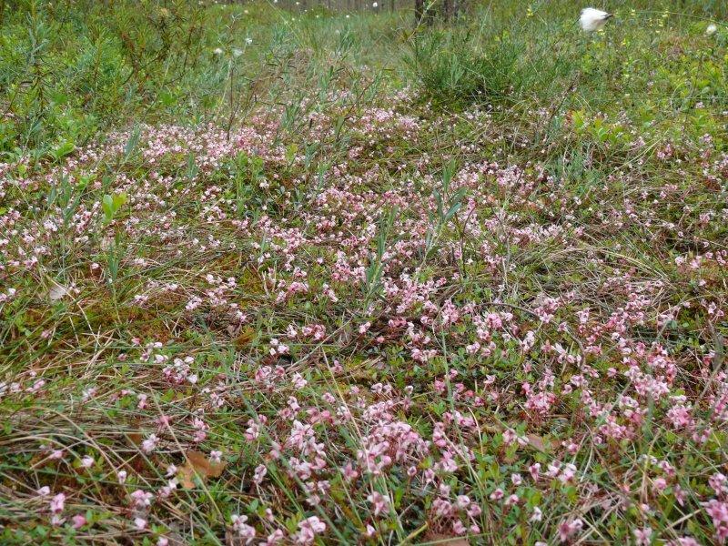 Blooming cranberries in Kemeri bog