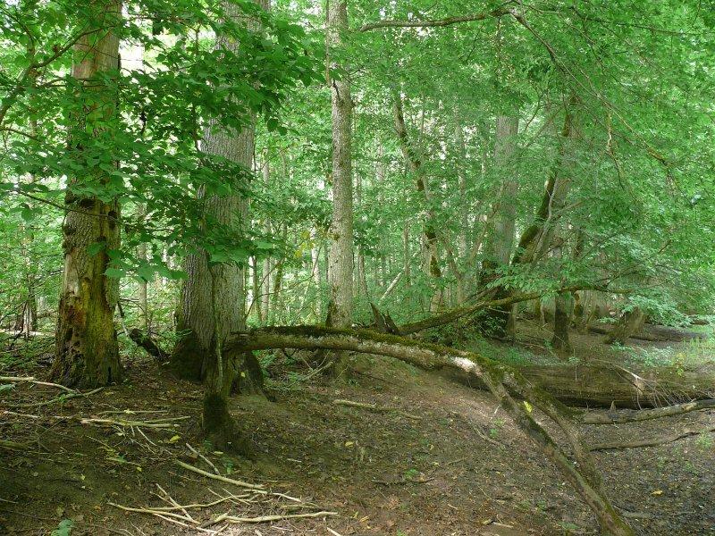 An old-growth forest near Pededze