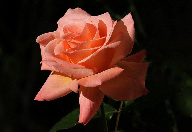 IMG_2702 roses.jpg