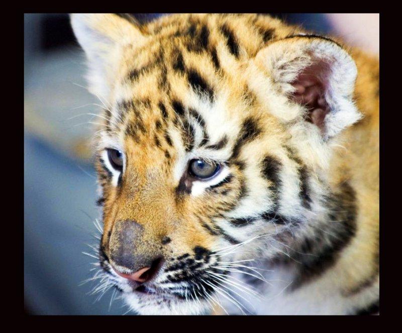 Baby Bengal