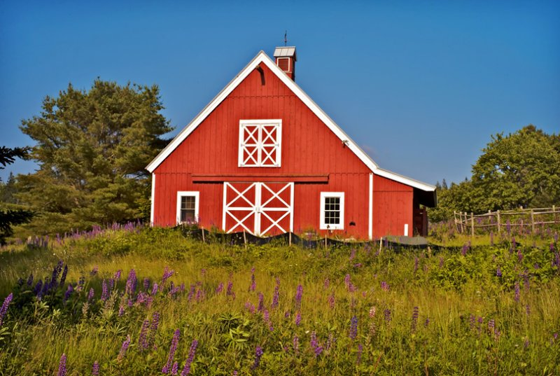 Barn with Lupines