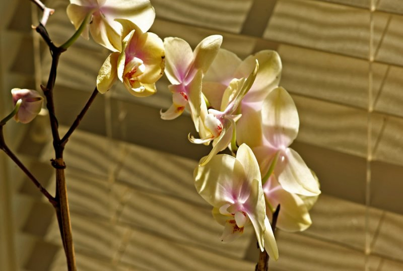 Orchid of Yellow