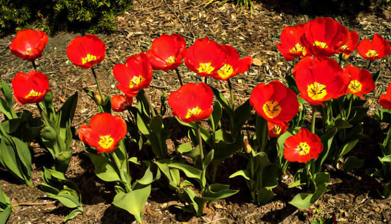 Tulips of Spring