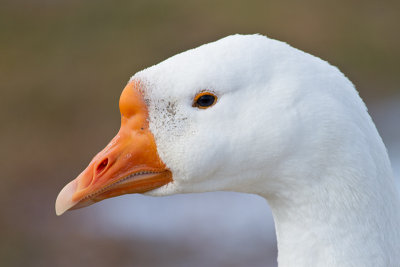 Male Goose, check the teeth