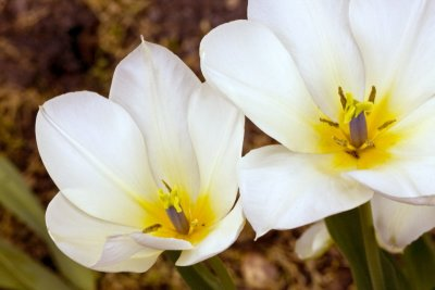 Tulips, white