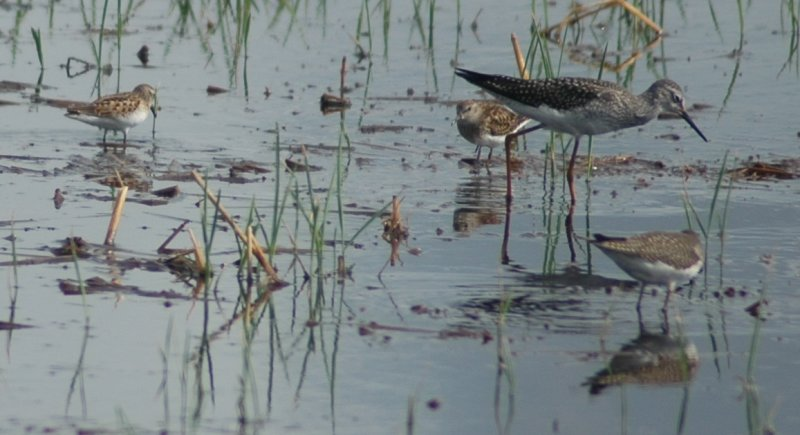 Lesser Yellowlegs, Solitary Sandpiper, and Two Peep Species