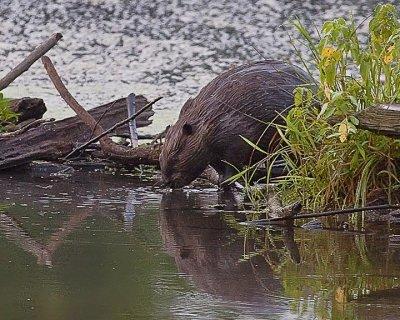Beaver at Boxley Mill Pond