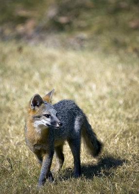 Juvenile Gray Fox, Classic Pose