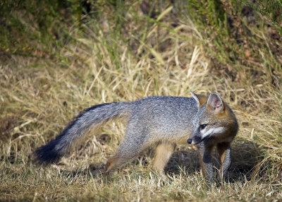 juvenile fox looking back 5x7_16298 SO copy.jpg