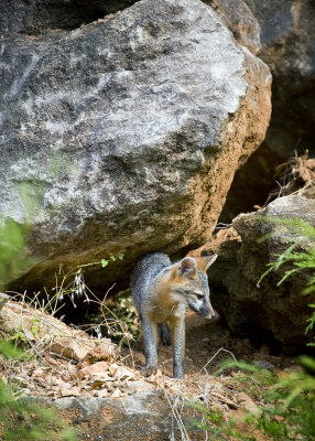 Juvenile Gray Fox on Bluff Looking Down