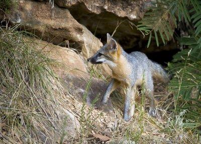 Juvenile Gray Fox on Bluff Face