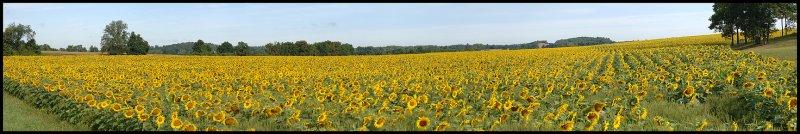 Sunflower_field_01.jpg