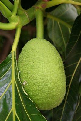 Artocarpus altilis (Breadfruit)