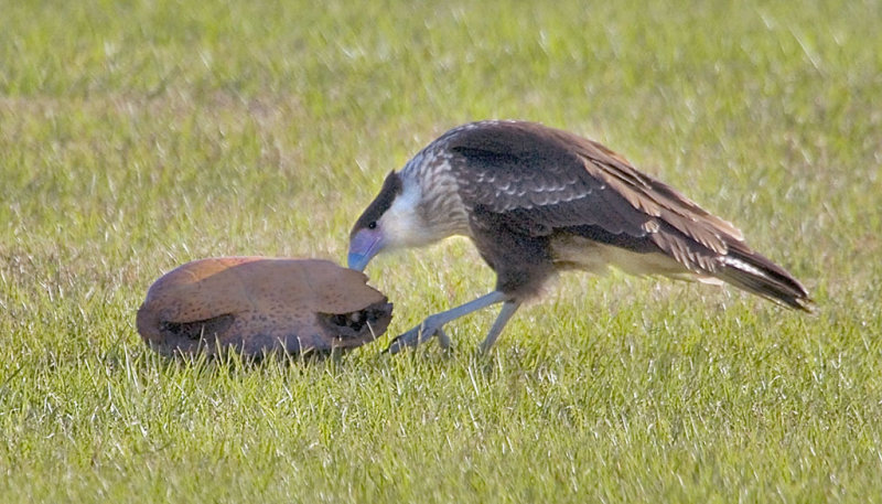 Crested Caracarra Juv with tortoise shell.jpg
