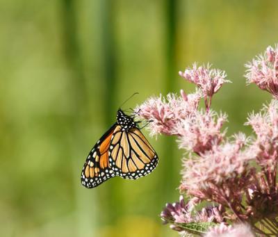 monarch on jpe pye weed