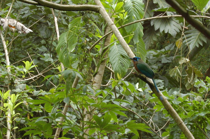 Bird - do you know what it is?  - Blue-crowned Motmot