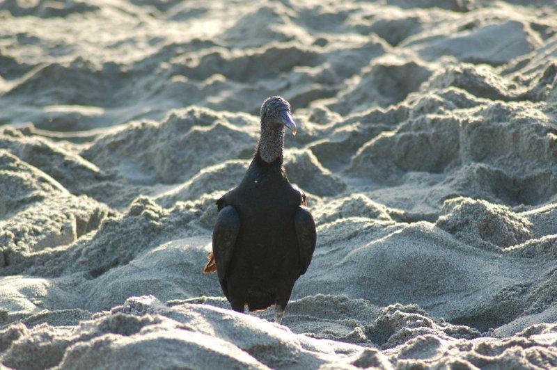 Black Buzzard looking for Eggs