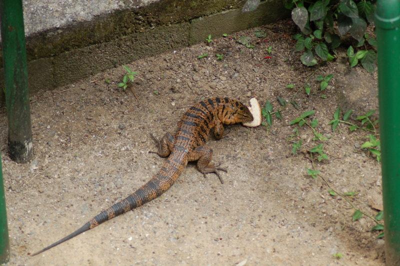 Golden Tagu Lizard