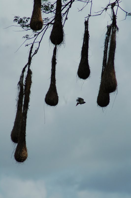 Pendulum Bird