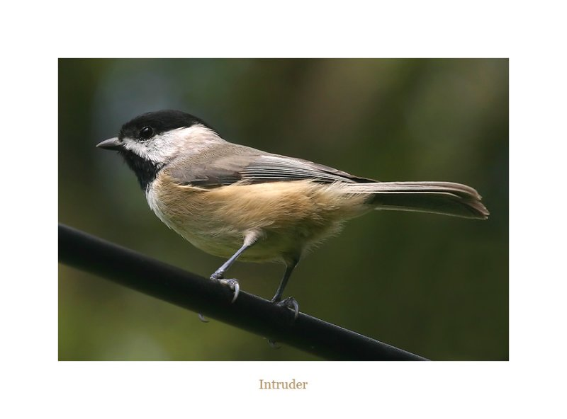 Cautious Chickadee