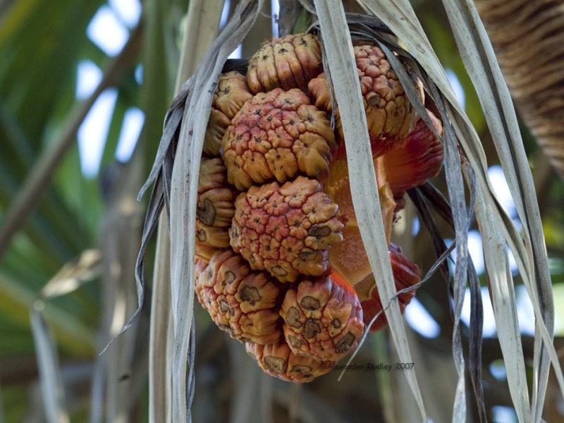Pandanus spiralis or Screw Palm