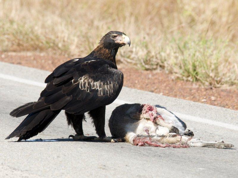Wedge-tailed Eagle Aquila audax