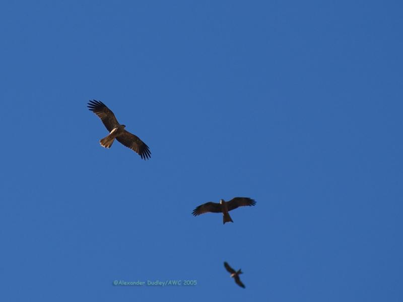 Whistling Kite and Black Kites