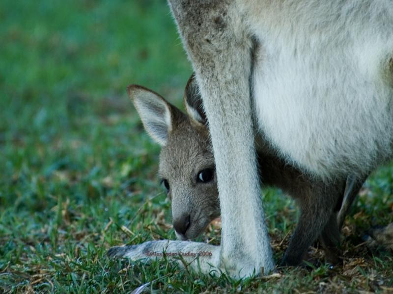 Joey of Eastern grey Kangaroo, Macropus giganteus