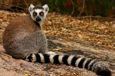Chapter 4: Madagascar's Lemurs