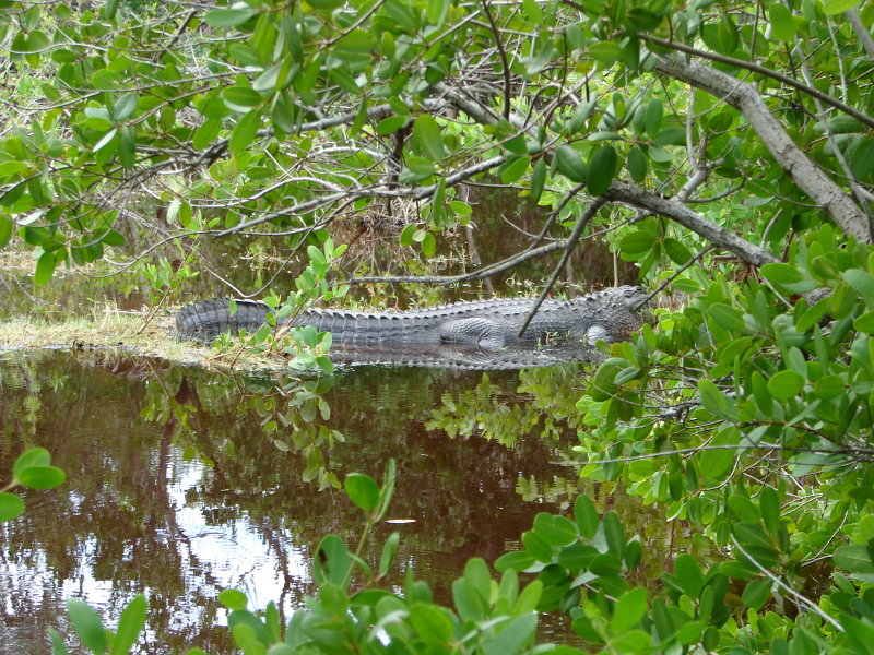 Alligator hiding in the bushes