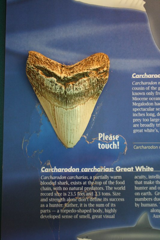 Great White Tooth