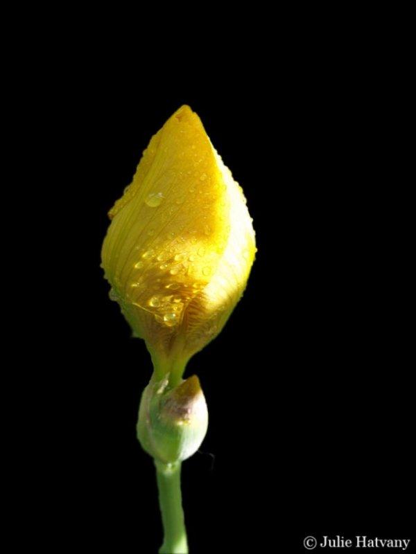 Budding Iris