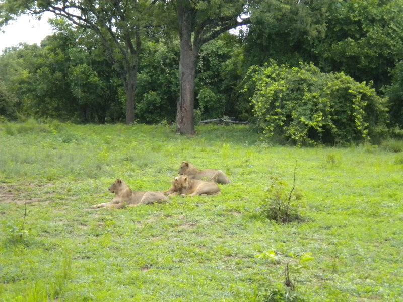 Lion the pride of females 9.jpg