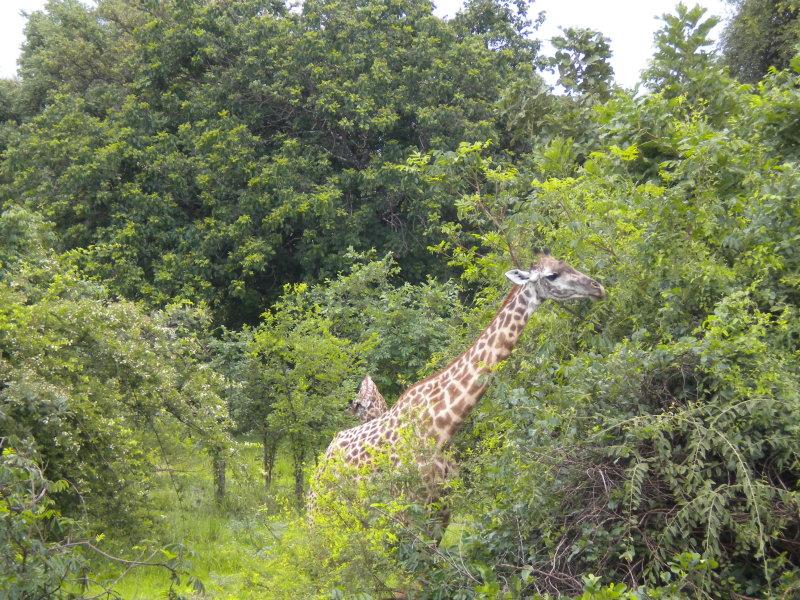 Giraffe having their Christmas breakfast.jpg