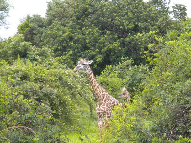 Giraffe having their Christmas breakfast 3.jpg
