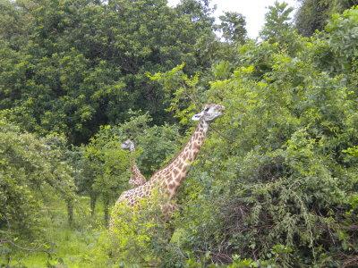 Giraffe having their Christmas breakfast 2.jpg