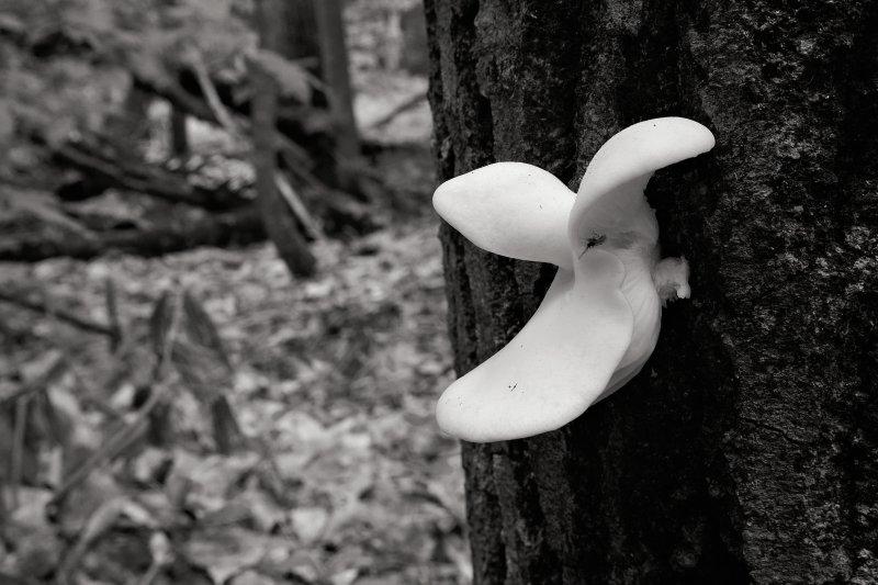 Moosehead Mushroom B&W