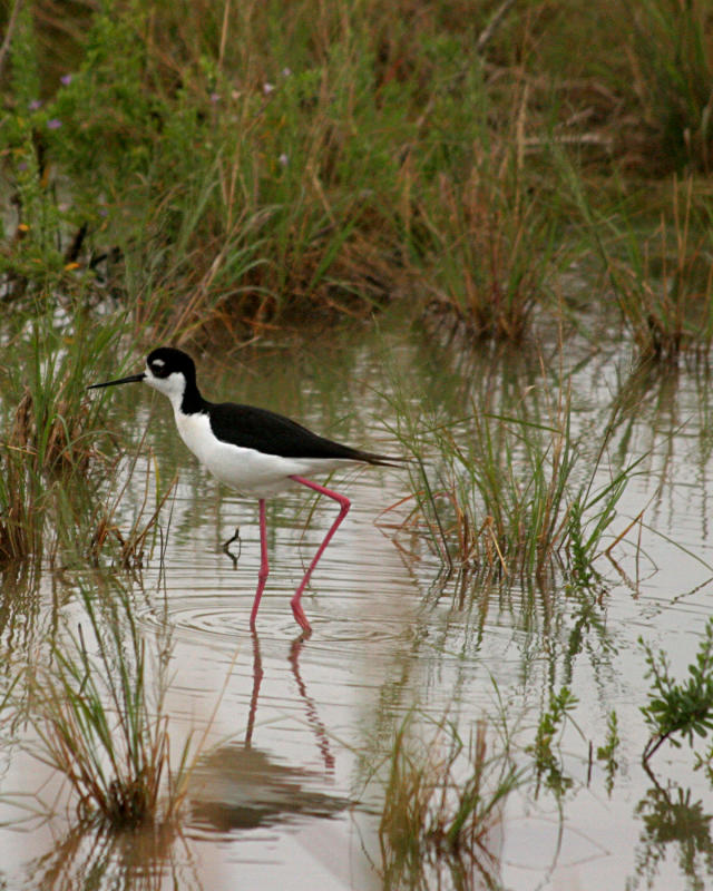 black necked stilt _3466a.jpg