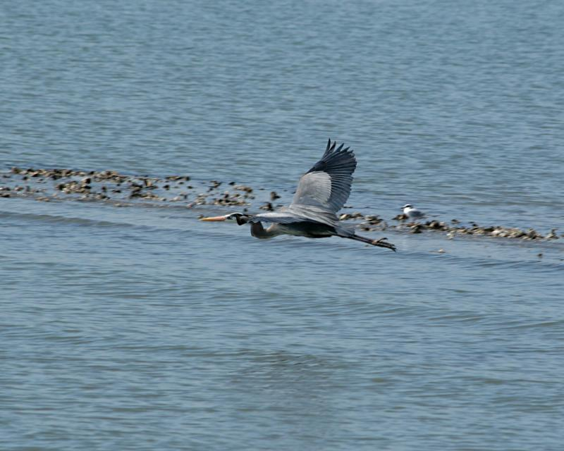 great blue heron flying 4165.jpg